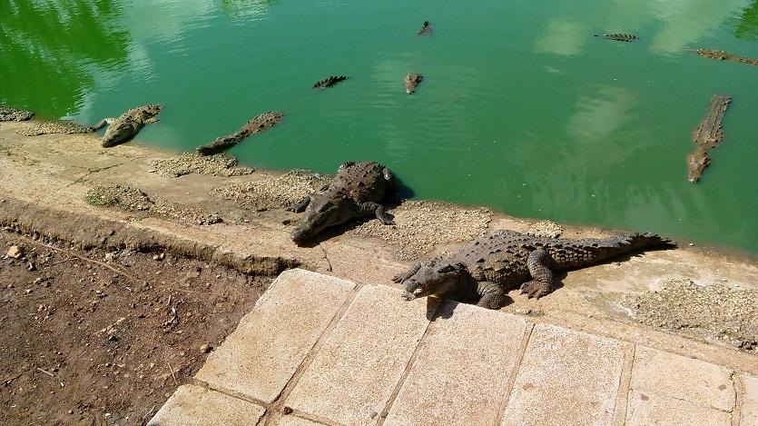 059cdca8 Un llamado desde la orilla indica a los saurios que hay comida en el  ambiente Fotos: Rigoberto Triana